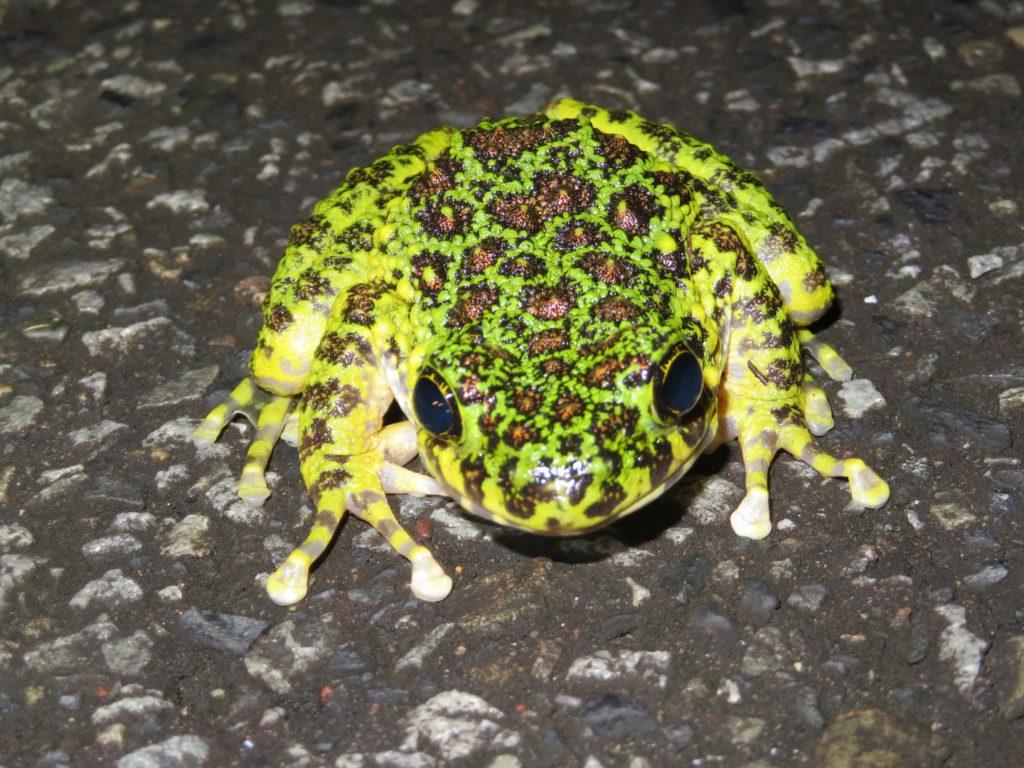 奄美大島の両生類全11種